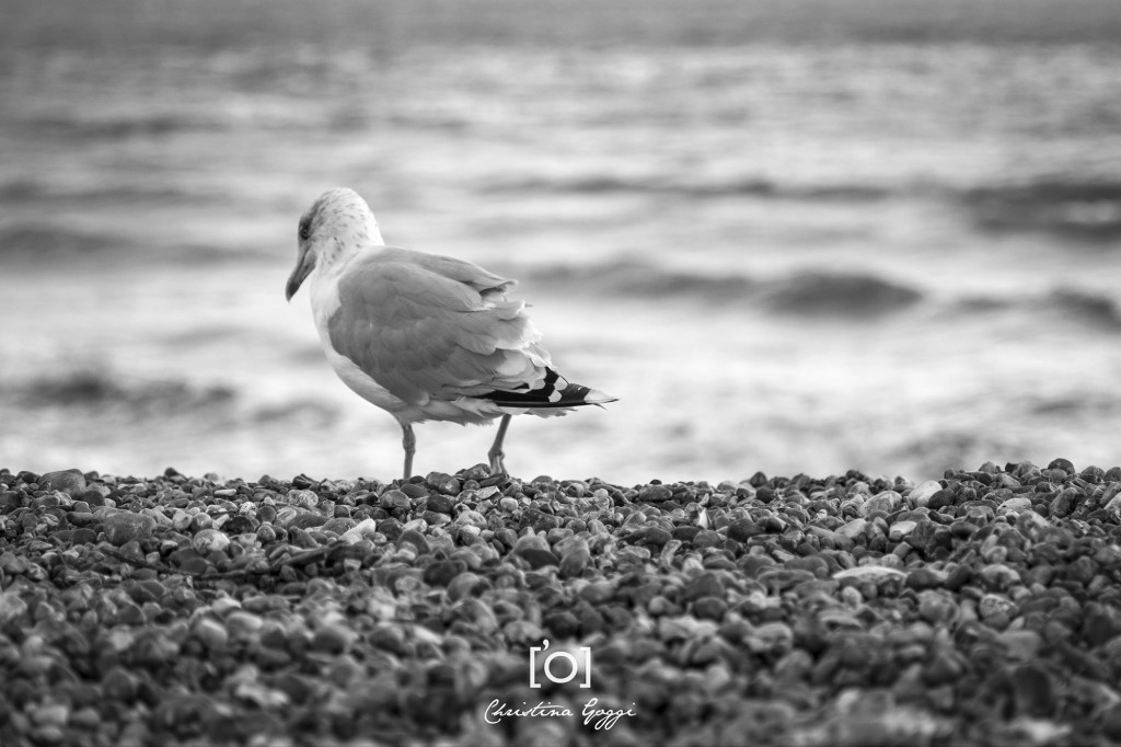 Brighton adult seagull by Christina Goggi Photography